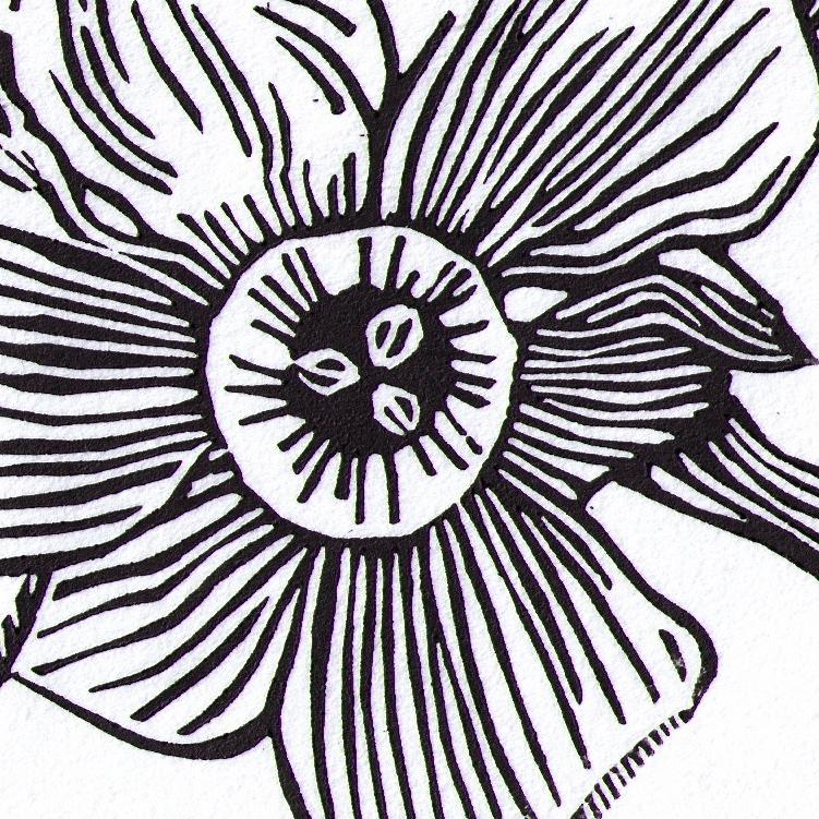 Narcissus 'Poeticus' study