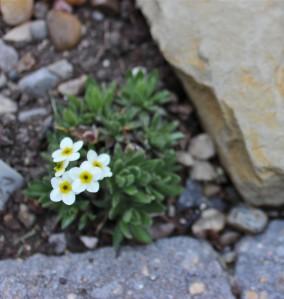 Alpine Rock Jasmine square image B. Wanhill 2014