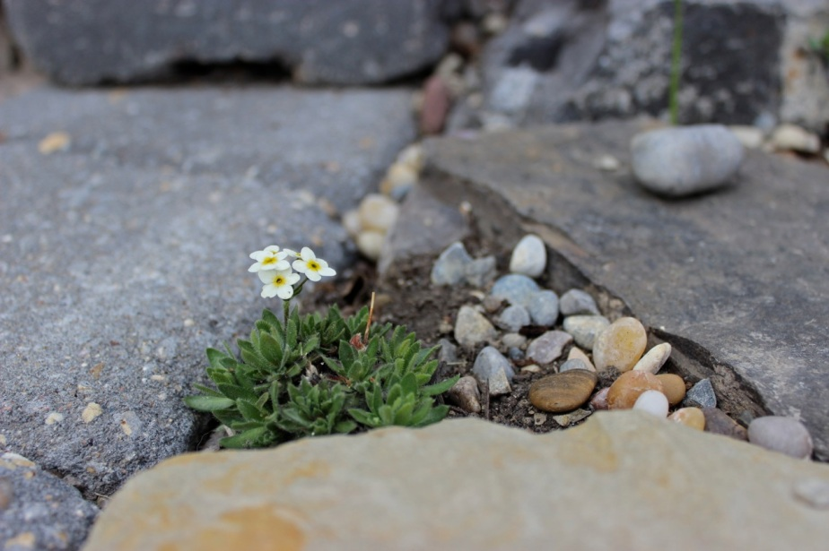 Tiny Rock Jasmine BWanhill 2014