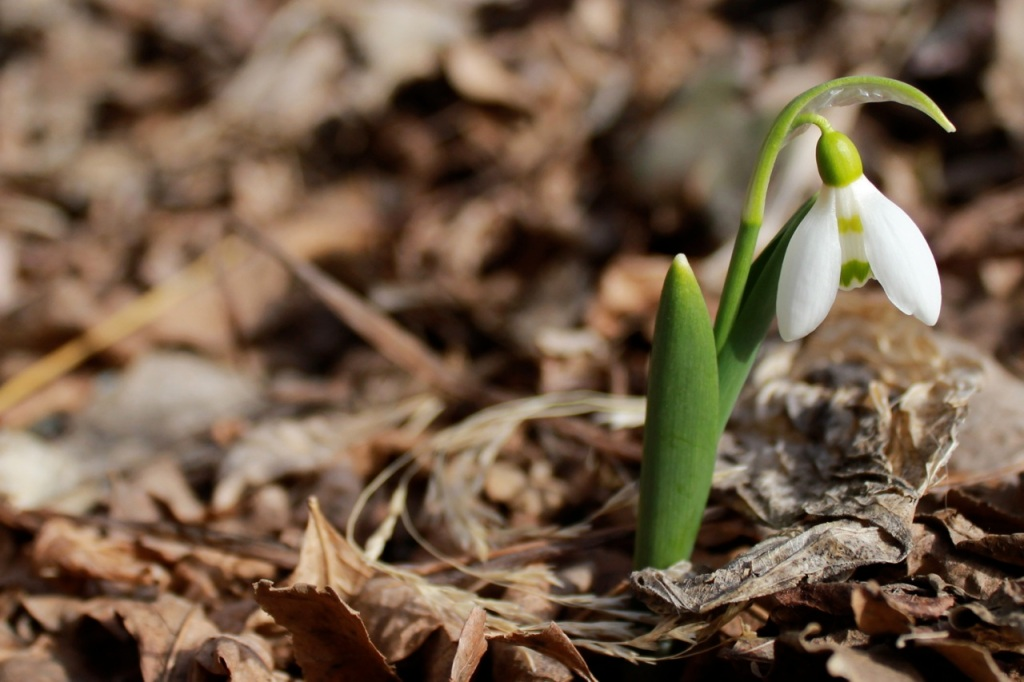 galanthus march 13
