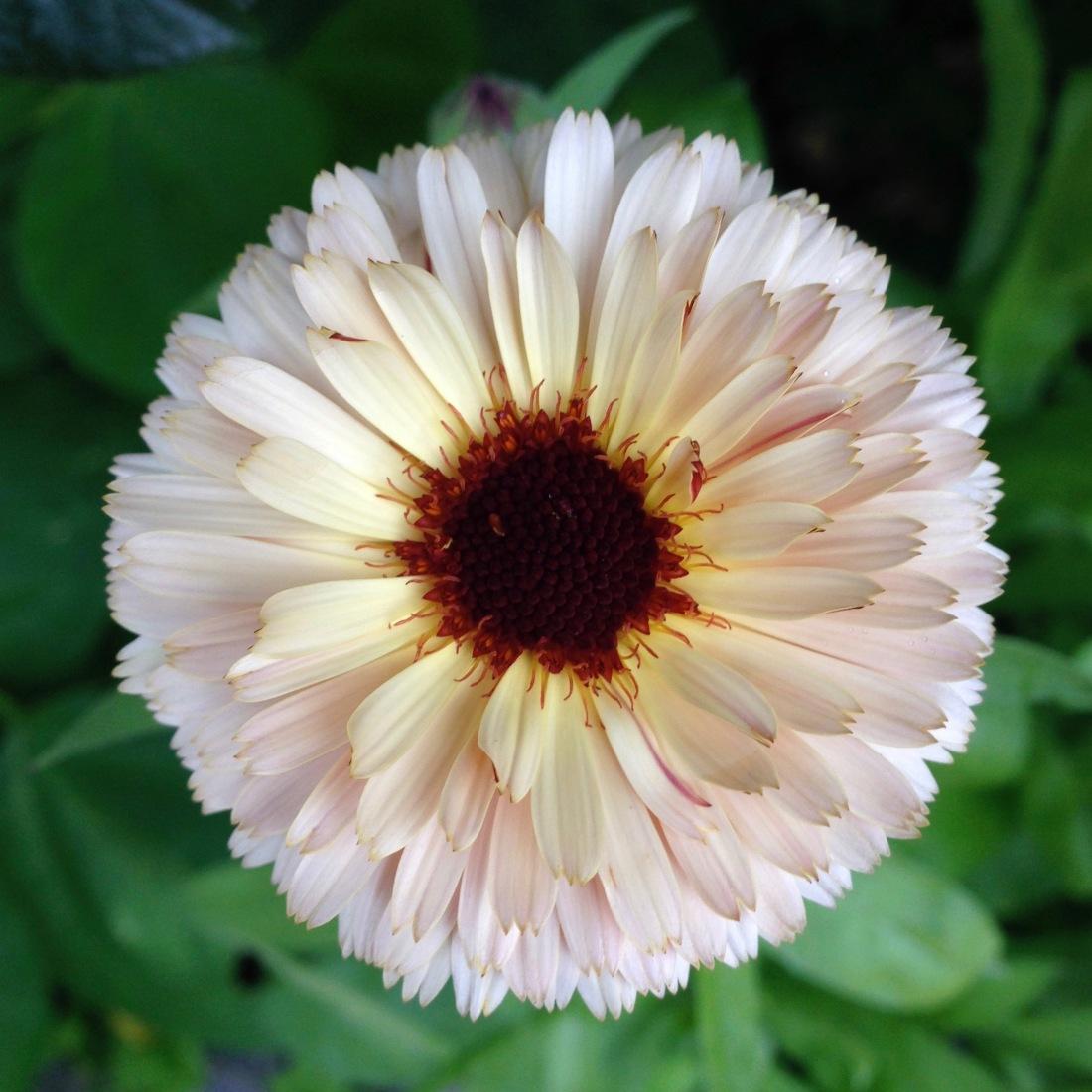 cream-calendula-open