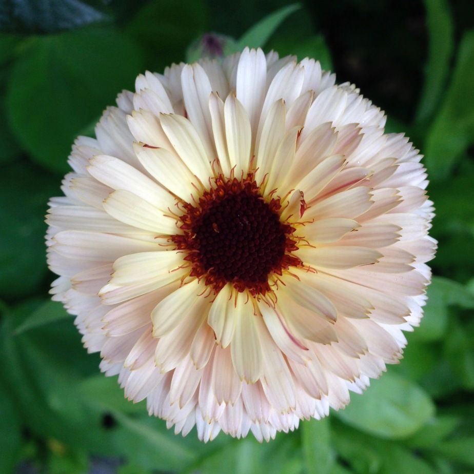 cream-calendula-open