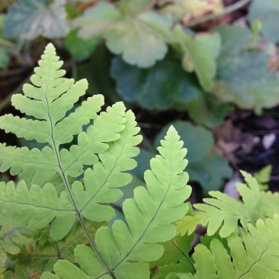 oak-fern